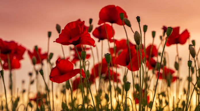 remembrance Sunday poppies